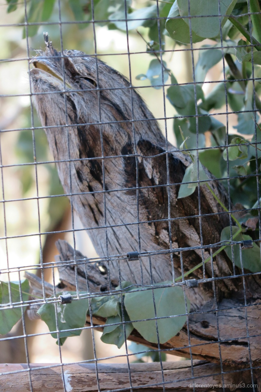 tawny frogmouth - Moonlit Sanctuary, Pearcedale