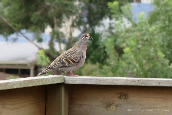 bronzewing on my verandah