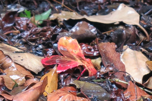 rain-soaked autumn leaves