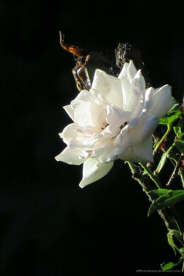 Autumn rose in the Dromana Hills