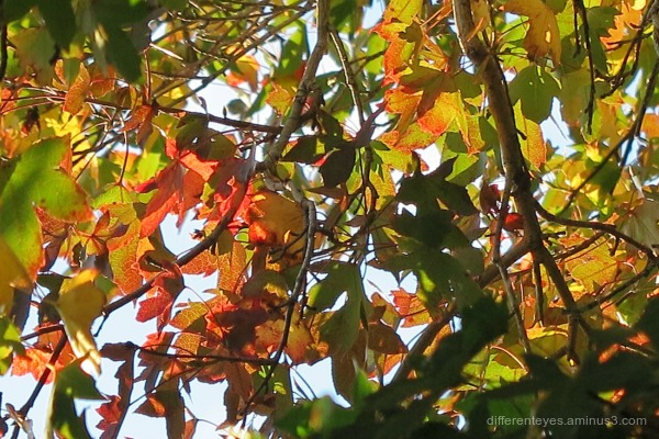 autumn leaves in the Dromana Hills