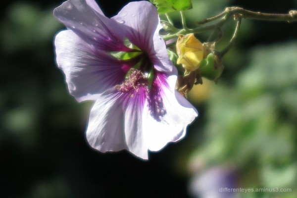 native hibiscus macro