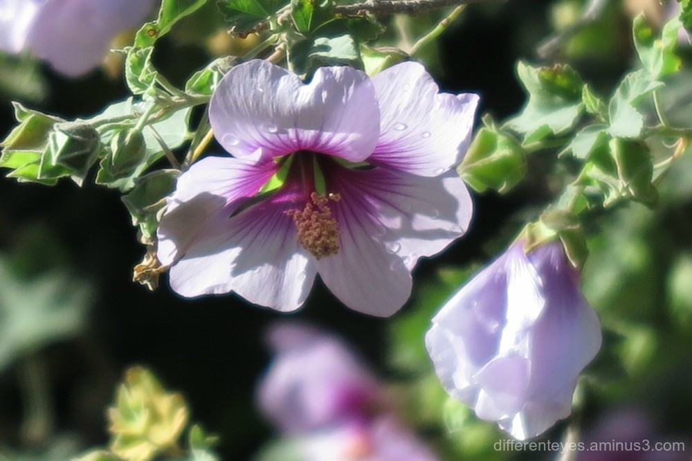 native hibiscus macro