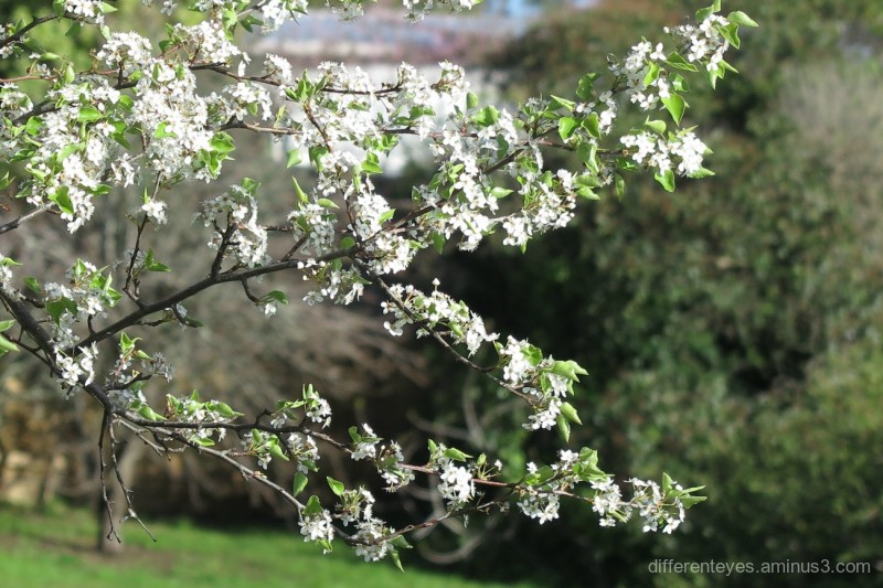 spring blossoms in the Dromana Hills