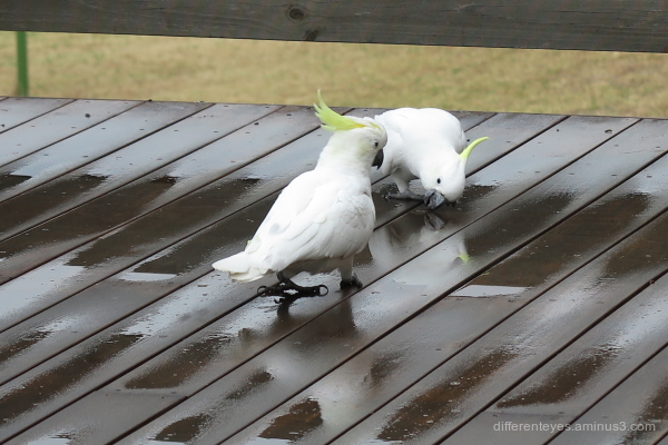Cockatoos enjoying rain on my verandah