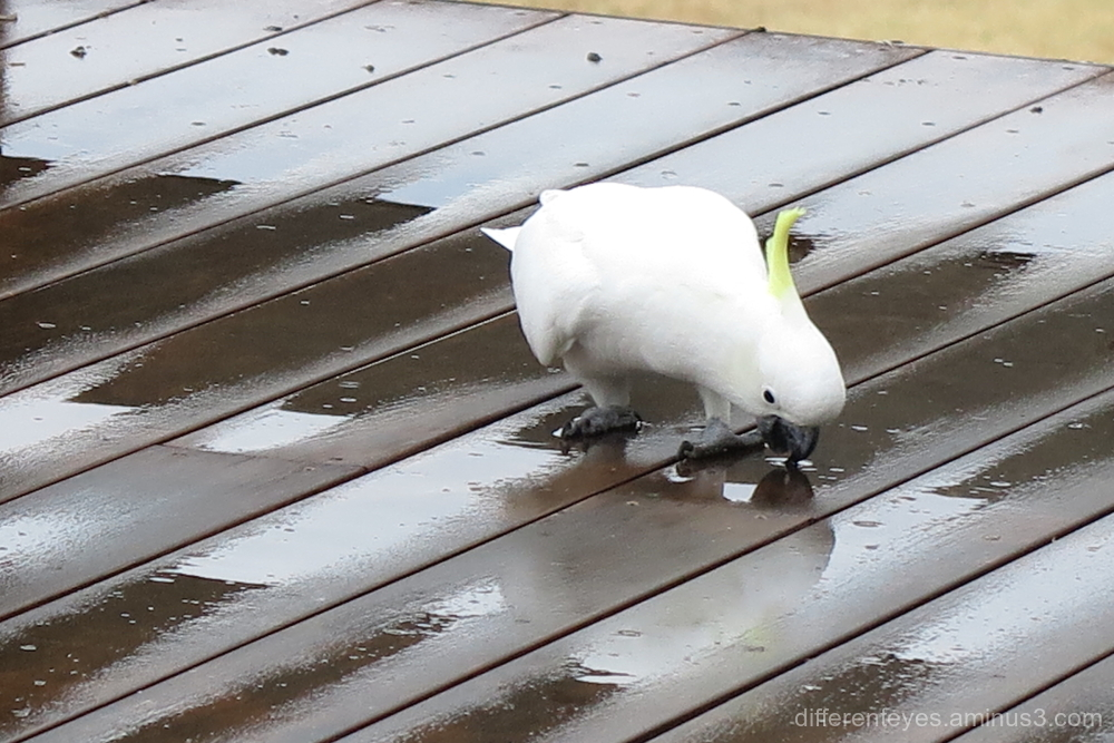 Cockatoo enjoying rain on my verandah