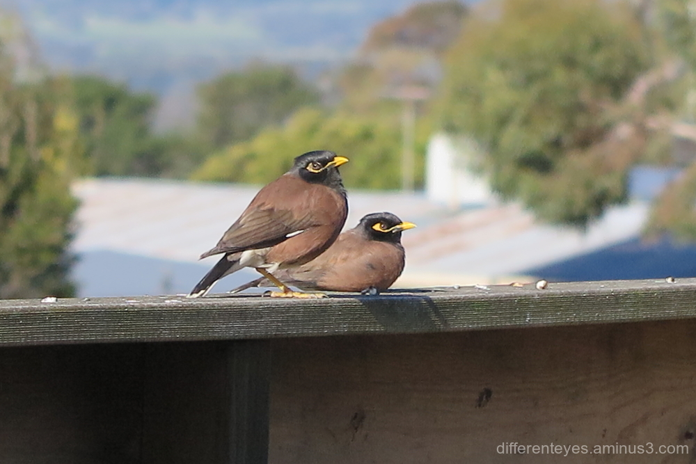 Common myna birds in Dromana Hills