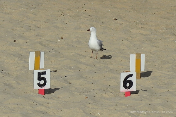 Seagull at Australia Day 2019, Dromana
