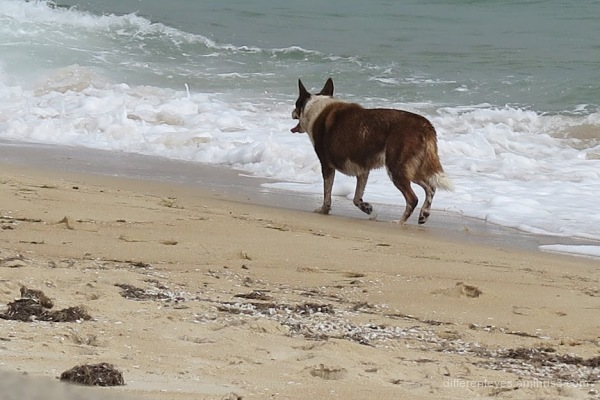 Dog at Dromana beach