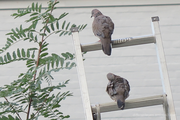 doves on a ladder
