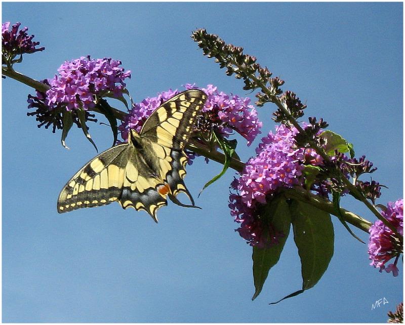 papillon sur un budléhia