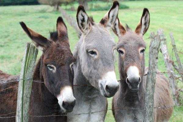 Trois petits ânes au champ