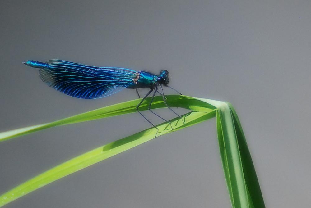 Caloptérix virgo, mâle