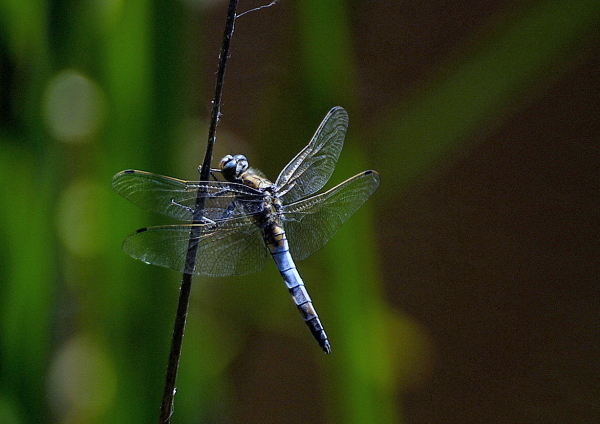 La libellule bleue
