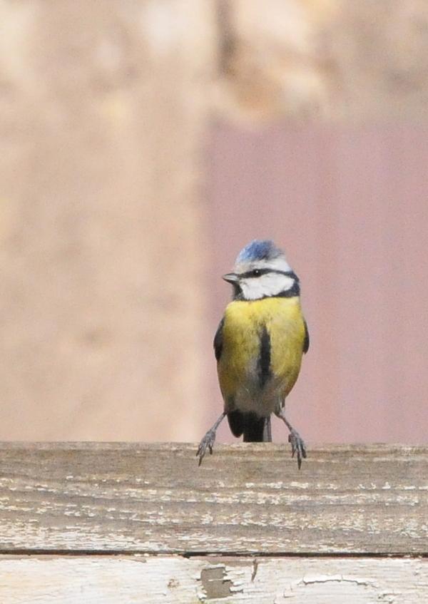 petite mésange bleue