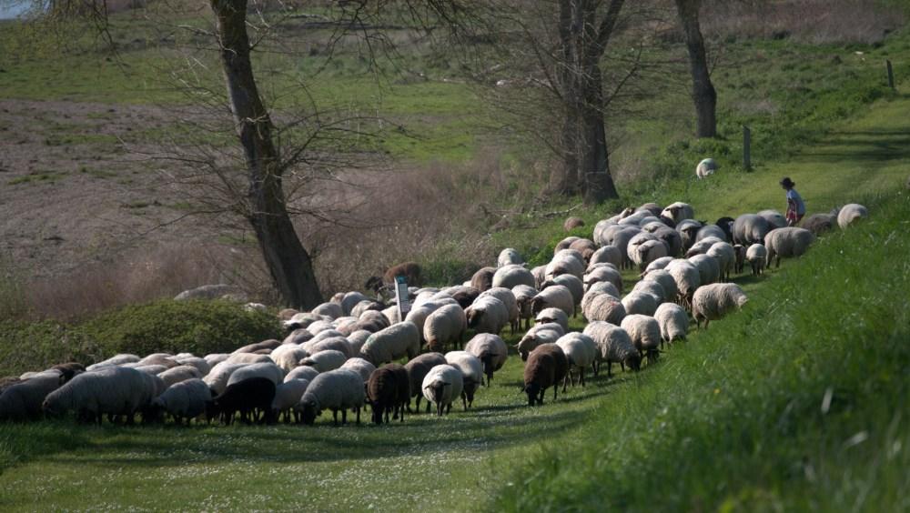 pastoralisme à Pouilly sur Loire