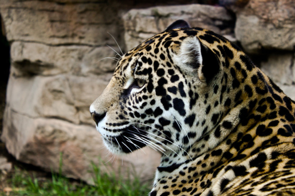 Jaguar, Zoológico de Chapultepec