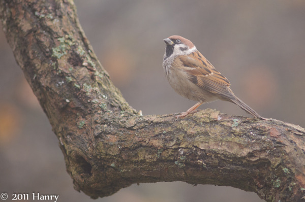 Tree Sparrow Ringmus