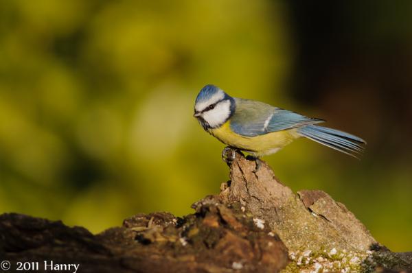 Pimpelmees Blue Tit