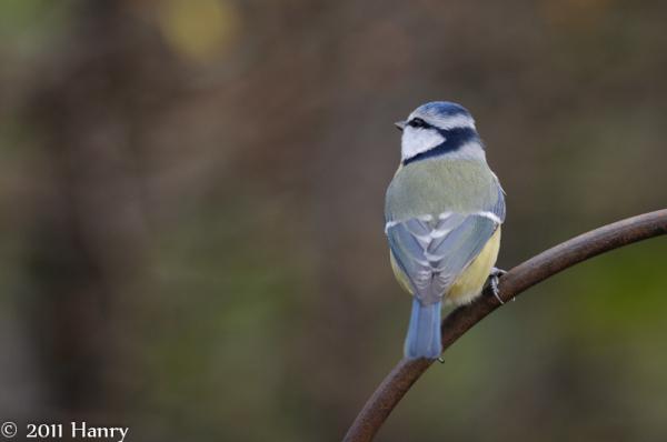 pimpelmees blue tit Parus caeruleus