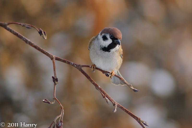 ringmus Passer montanus Tree Sparrow