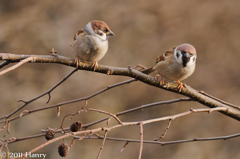 Passer montanus Tree Sparrow Moineau friquet