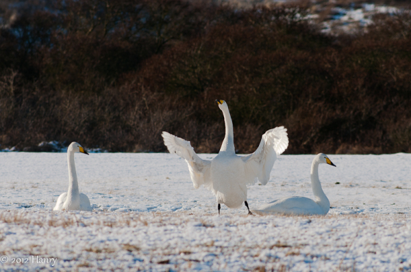 Wilde zwaan Cygnus cygnus Whooper Swan