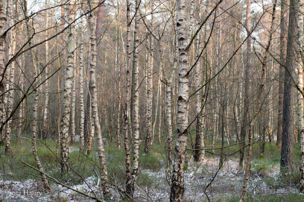 bos berk birch forest