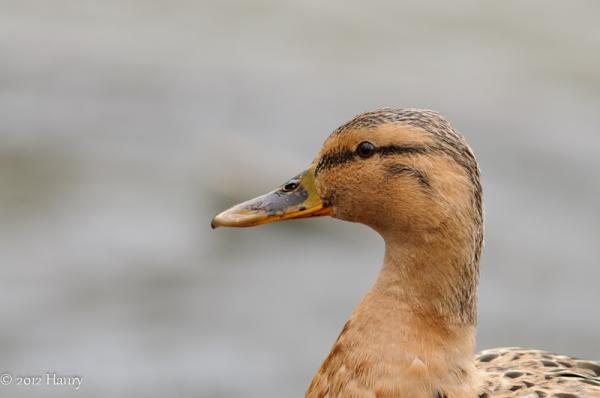 wilde eend duck mallard