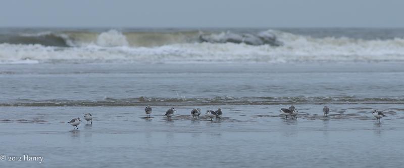 drieteenstrandlopers zee strand sanderlings sea be