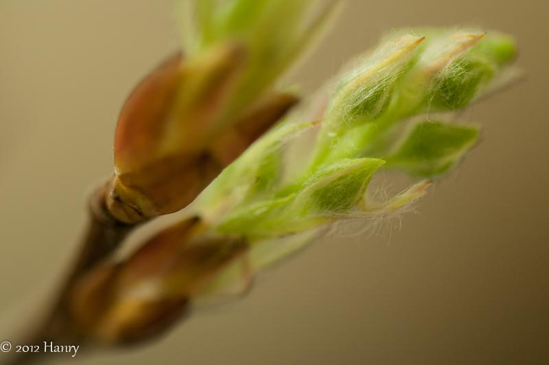 Amelanchier Krentenboompje knop bud