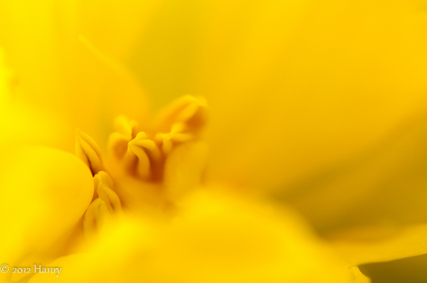 yellow tulip geel tulp