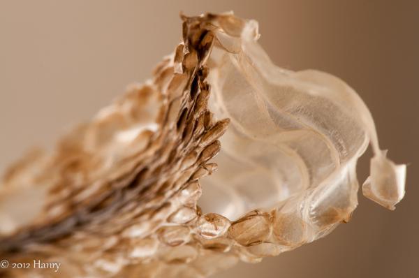 ringslang slangenhemd Natrix natrix grass snake