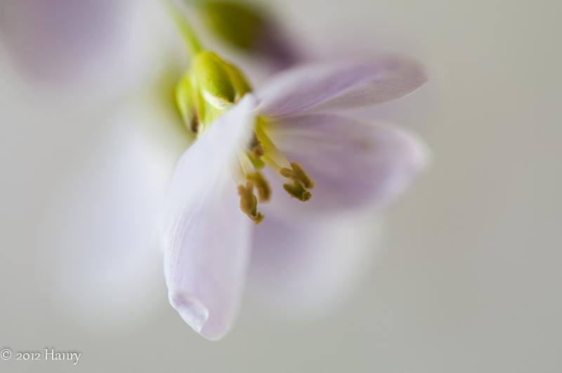 pinksterbloem Cardamine pratensis macro