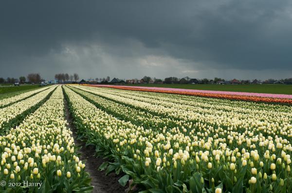 tulp tulip clouds wolken