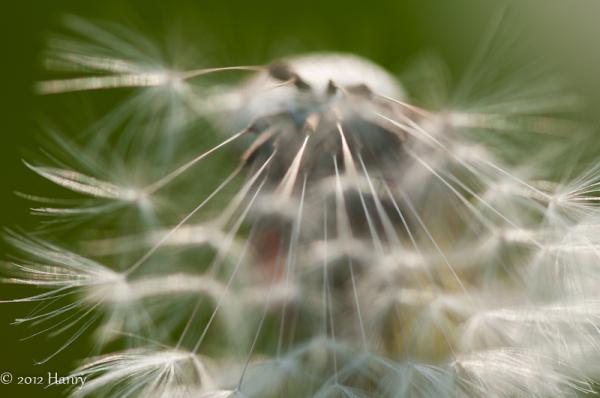 paardebloem dandelion