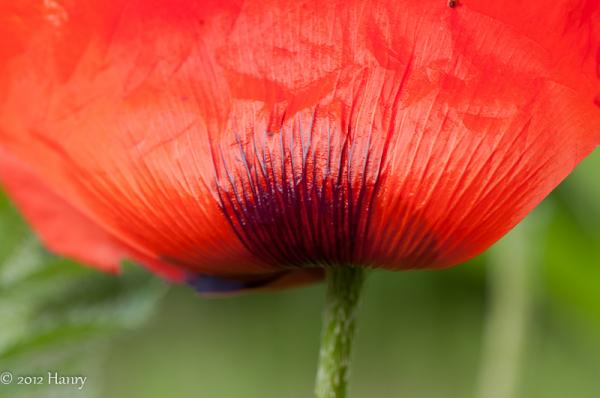 papaver poppy klaproos