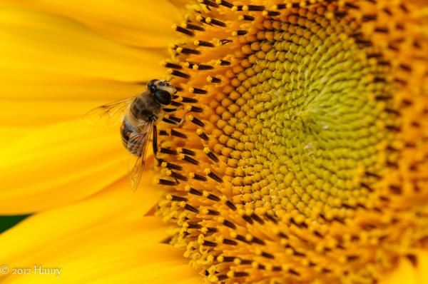sunflower zonnebloem bee bij