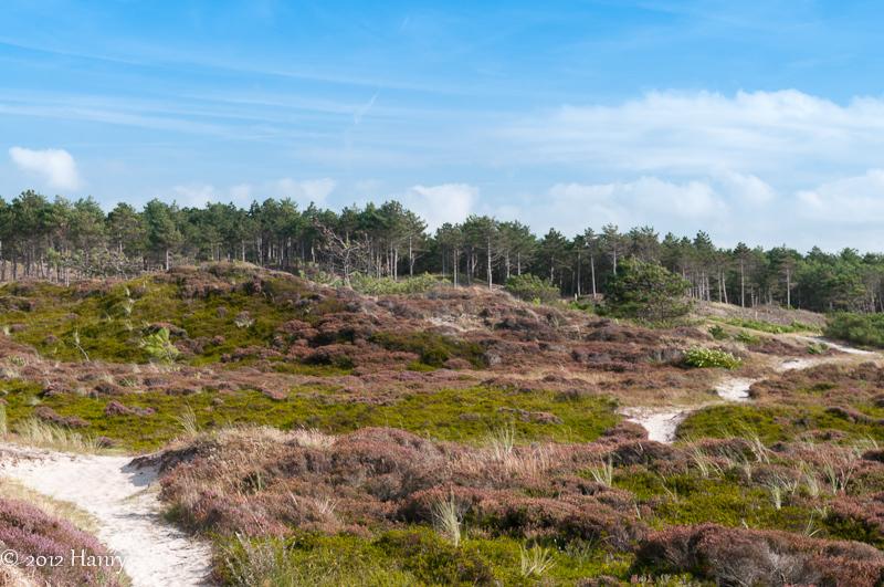 duinen heide schoorl dune heathlands