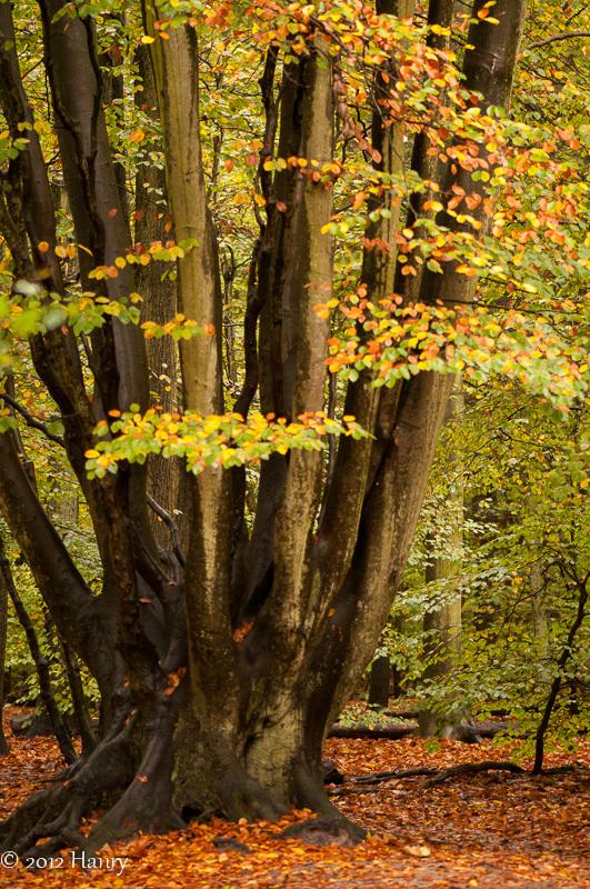 beuk bos herfst beech forest autumn