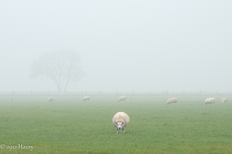 mist schapen fog sheep boom tree