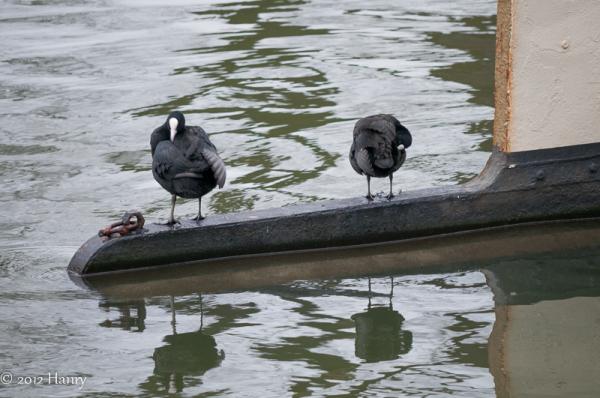 boot water roer meerkoet boat water rudder coot