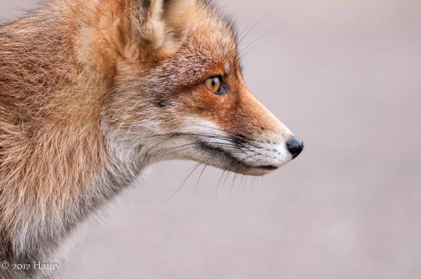 vos fox Vulpes vulpes