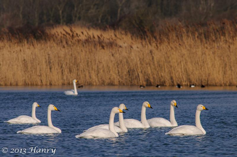 wilde zwaan whooper swan