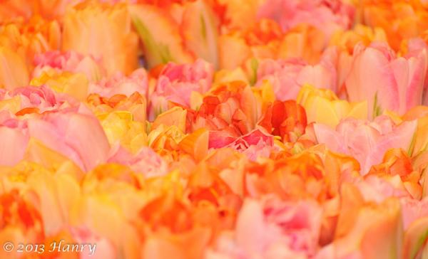 tulp tulip kleuren colors