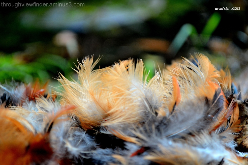 beauty of feather
