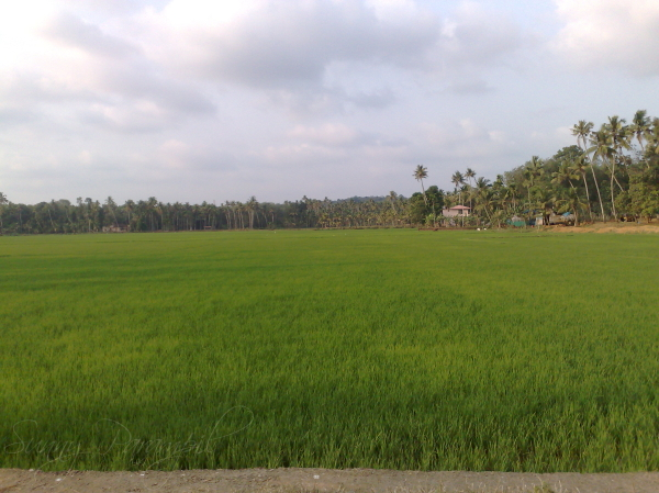 Green fields all around, Kerala