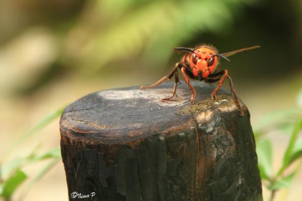 Asian Killer Hornet