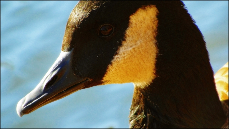 Geese portrait