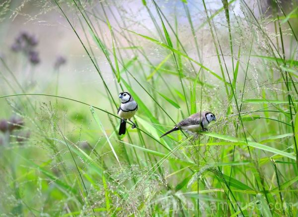 Double-barred finches